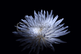 Chrysantemium