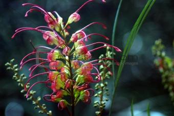 Australian Flower