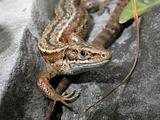 Common Lizard 02
