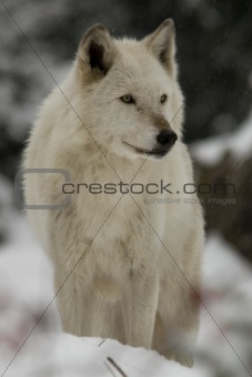 Gray Wolf watching in snow