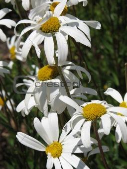 California Daisy