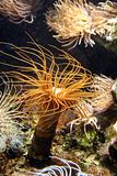 Windy Coral