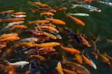 School of Koi's