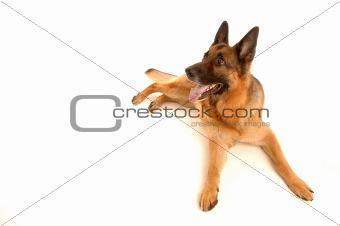 laying dog