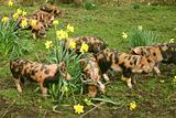 Piglets in garden