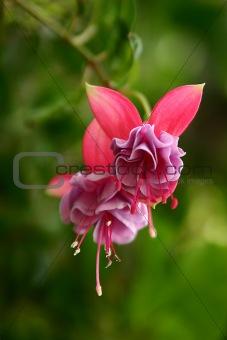 Tropical flower, Guatemala