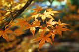 Maple in autumn colors