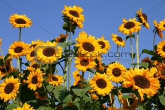 Group of happy sunflowers