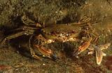 Swimming crab