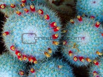cactus balls