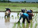 Asian women at work in a rice plantation