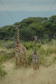 Pair of giraffe's