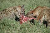 Feeding Hyena