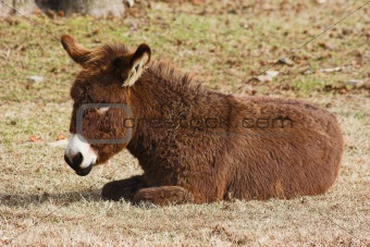 Baby brown donkey