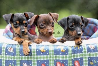 Three doberman puppies
