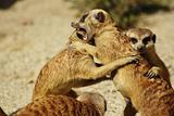 Happy Family - meerkats