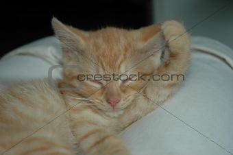 Kitten taking a nap