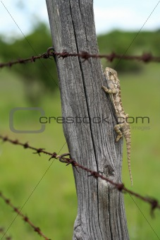 Chameleon behind barbed wire