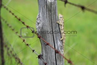 Chameleon behind barbed wire