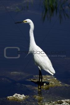 Snowy egret white heron