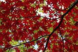 Red and green tree leaf canopy