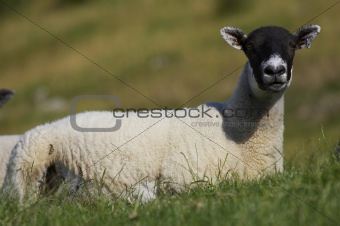 Single sheep lying in green field