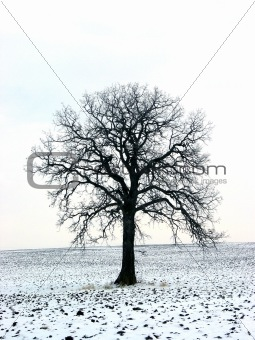Tree in a winter field 1