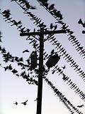 Roosting On-Lines