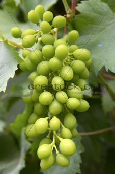 Grapes hanging off vine