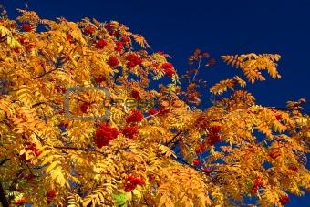 Autumn rowan-tree