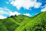 Tea Plantation in Cameron Highland