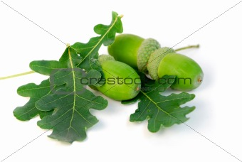 Acorns oak leaves