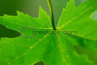 Green leaf maple