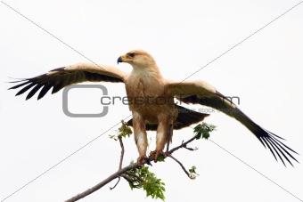 Pale Morph Tawney Eagle