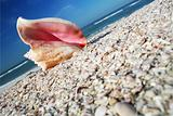Conch on Shore