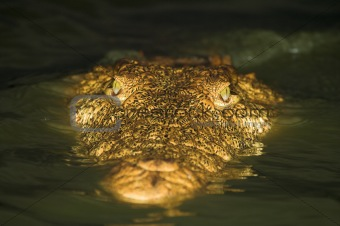 Close up of a crocodile in the water