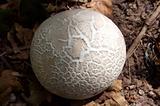 mushroom Sclerodermataceae.