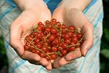 hands full of red currant berries