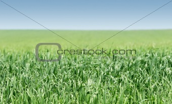 green grass on blue sky background