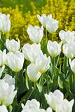White tulips in the park