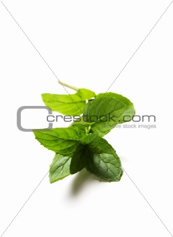 Green fresh mint leaves on white
