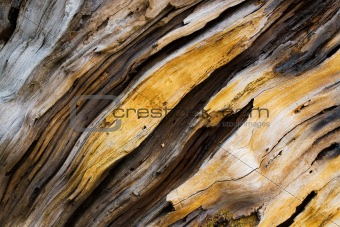 Old pine tree wooden texture