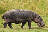 Hippo Grazing
