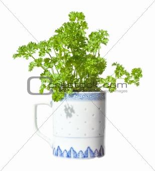 growing  parsley in a mug