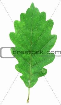green oak leaf on white