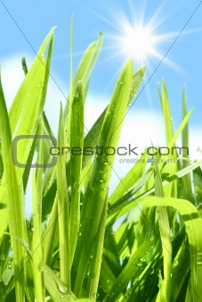 Tall grass going apainst blue sky