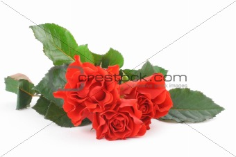 three beautiful roses on white