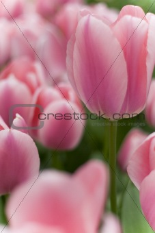 A photo of colorful tulips under natural light condiitions