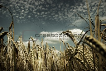Rural Corn Fields