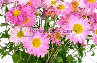 chrysanthemums on white